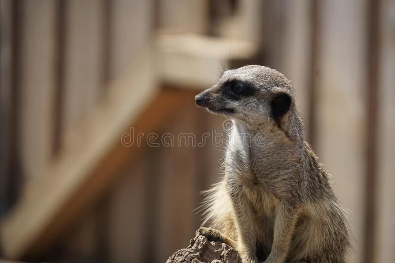 Cute curious meerkat looking to one side, shallow depth of field. Blurred neutral colour background with mainly browns, creams and black. Calm image with good stock images