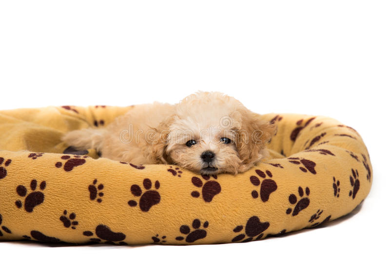 Cute and curious poodle puppy resting on her bed royalty free stock photo