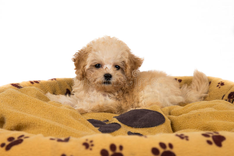 Cute and curious poodle puppy resting on her bed royalty free stock photography