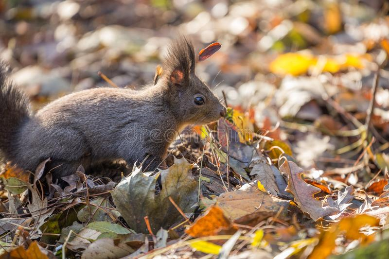 Cute curious red squirrel on autumn leaves stock photos