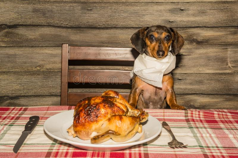 A cute Dachshund begging dinner. An adorable Dachshund puppy begging for the holiday dinner at the table stock photography