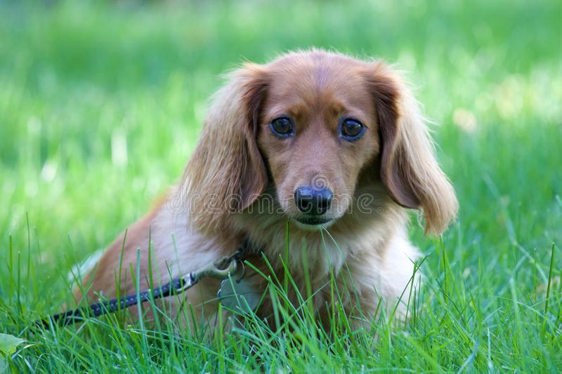 Cute Dachshund royalty free stock photography