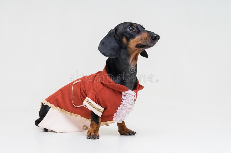 Cute dachshund dog, black and tan, dressed in a festive brown suit and shirt, isolated on a gray background background.  stock photos