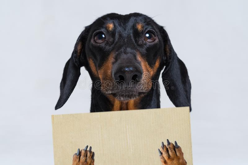 Cute dachshund dog, black and tan, holds his paws a blank banner, placard or blackboard, on gray background stock photo
