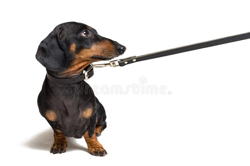 Cute dachshund dog, black and tan, waiting and begging to go for a walk with owner, pull the leash, isolated on white background royalty free stock image