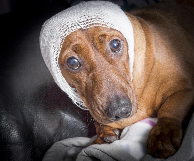 Cute brown injured dachshund dog with white bandage around his h royalty free stock photography