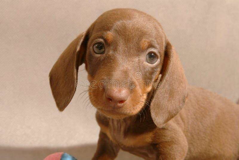 Cute dachshund puppy stock image