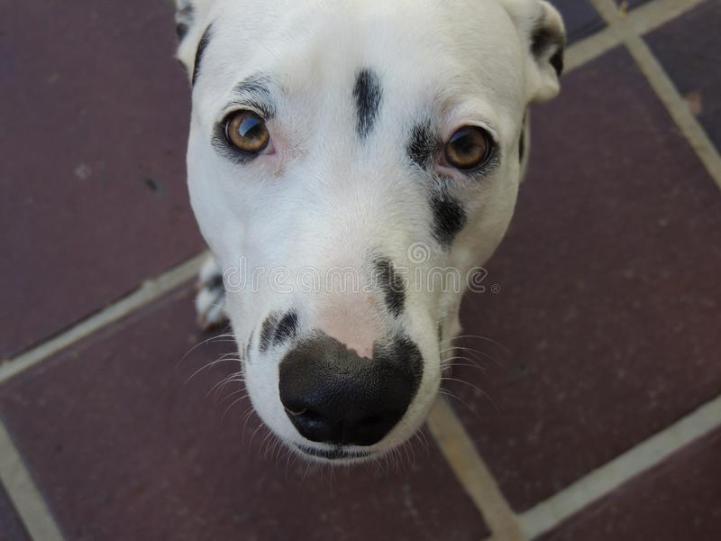 A cute Dalmatian dog looking at you royalty free stock image