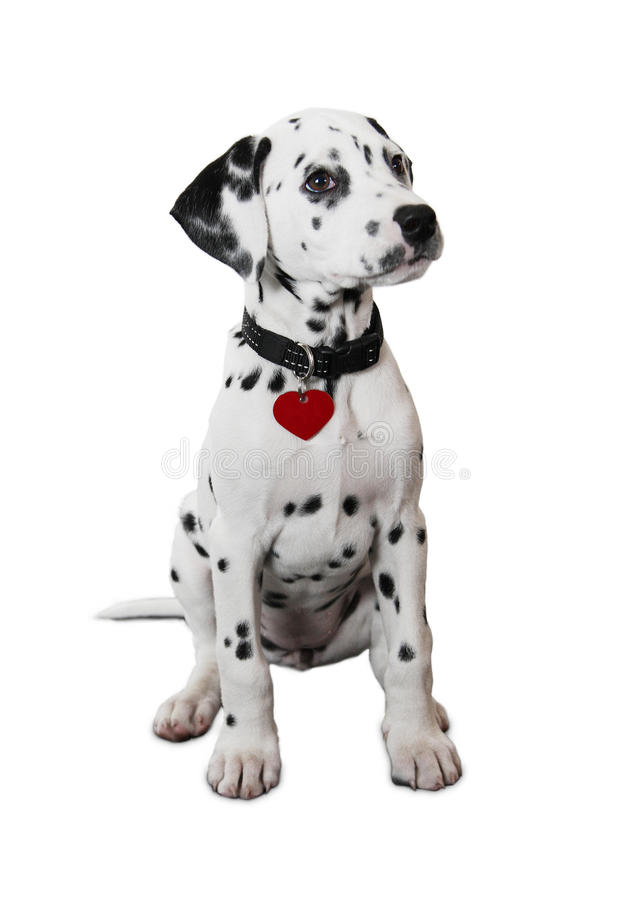 Cute Dalmatian Puppy. Isolated on white background