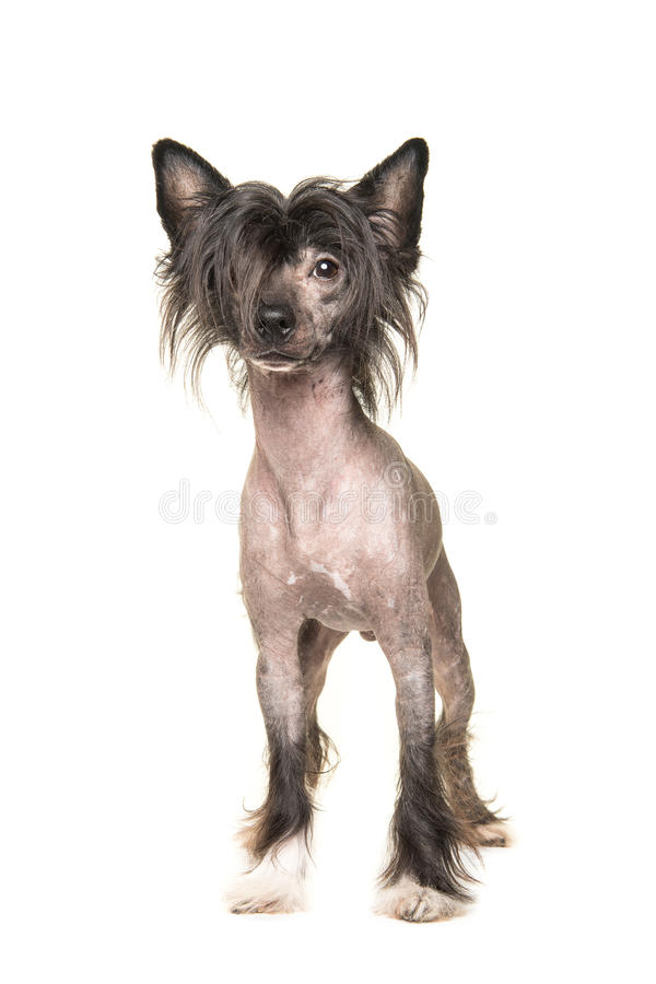 Cute dark naked chinese crested dog standing and facing the came. Ra isolated on a white background stock photography