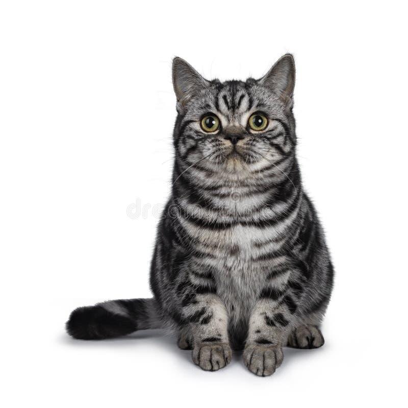 Cute dark tabby British Shorthair cat kitten, Isolated on white background. Cute dark tabby British Shorthair cat kitten, sitting facing front looking straight stock photo