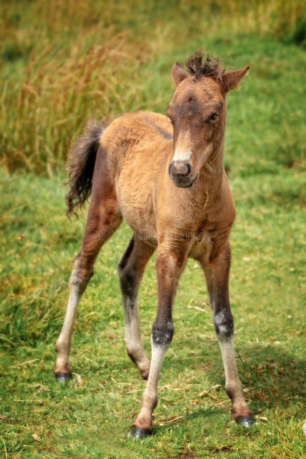 Cute Dartmoor Pony foal standing. Cute Dartmoor Pony young foal standing stock photos