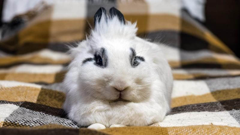 Cute decorative dwarf rabbit on the sofa. Sochi, Russia royalty free stock image