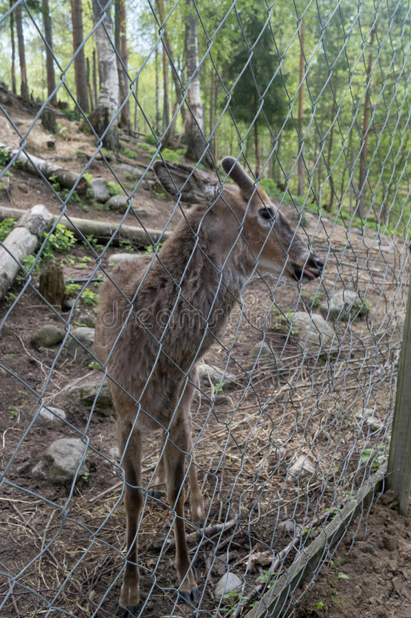Cute deer in a finland zoo behind a fence royalty free stock photo