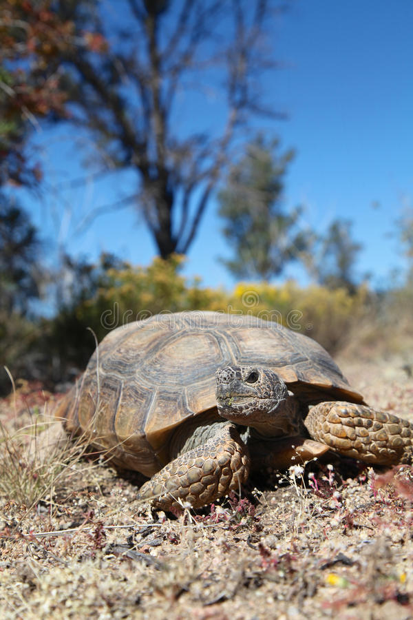 Cute Desert Tortoise. A desert tortoise in the arizona desert stock photos