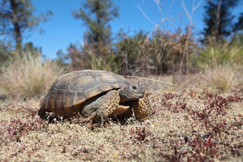 Cute Desert Tortoise in Arizona. A desert tortoise in the arizona desert royalty free stock image