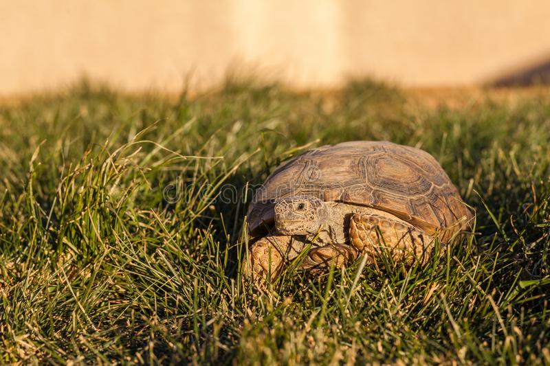 Cute Desert Tortoise in Arizona stock images