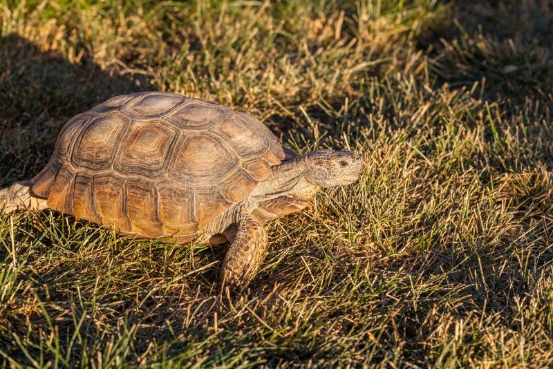 Desert Tortoise in Grass royalty free stock image