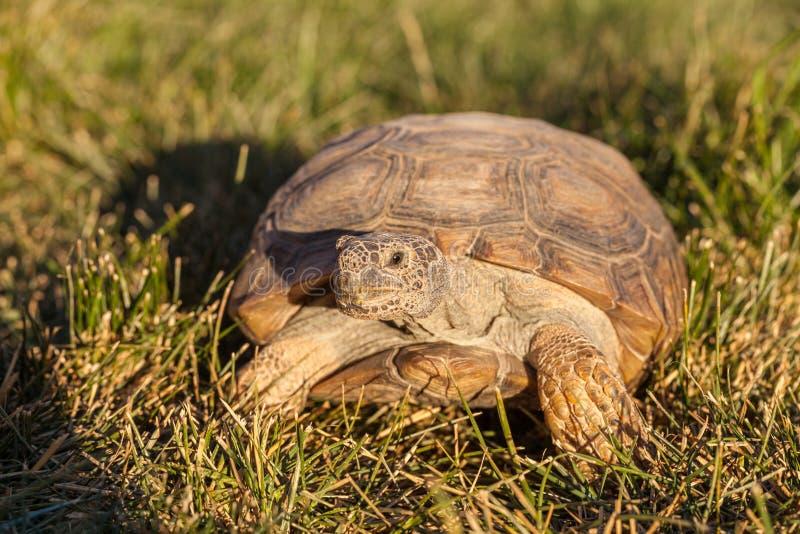 Desert Tortoise in Grass Head On stock photography