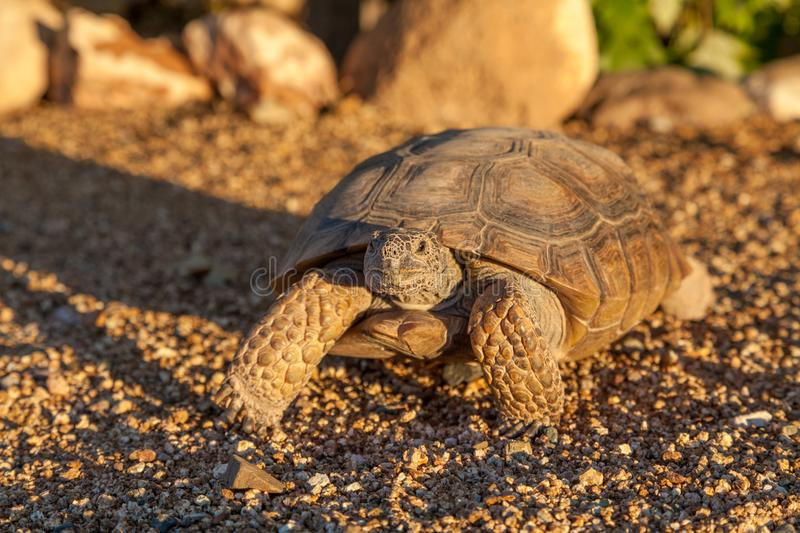 Cute Desert Tortoise Head On royalty free stock images