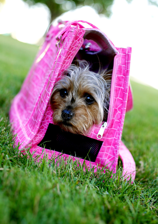 Cute Diva Dog in Pink. A cute yorkie dog in a pink carrier sitting in the green grass stock image
