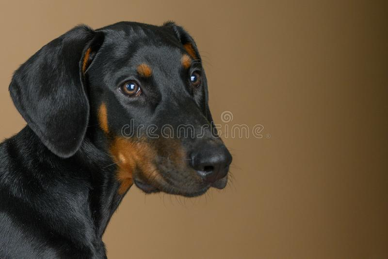 Cute Doberman Pinscher puppy head-portret royalty-vrije stock afbeelding