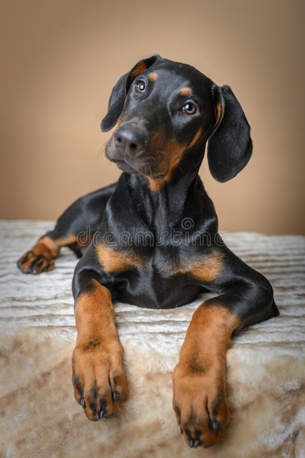 Cute Doberman Pinscher-puppy op deken stock foto's