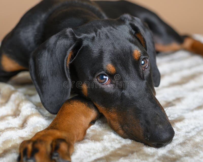 Cute Doberman Pinscher-puppy op deken royalty-vrije stock foto
