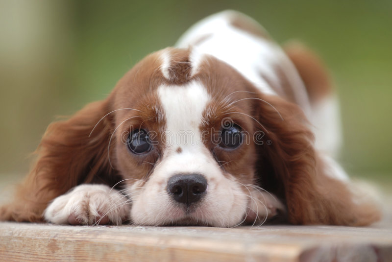 Cute dog. King Charles Cavalier Spaniel laying down in the park