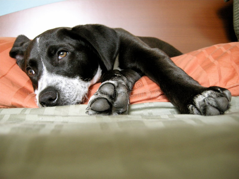 Cute Dog. Cute pitbull pointer mix puppy lounging royalty free stock images