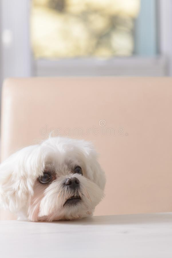 Cute dog asking for food royalty free stock images