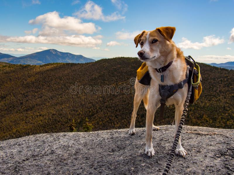 Dog with Backpack on Mountain Summit. A cute dog with a backpack sitting on a mountain summit giving a weird glance stock photo