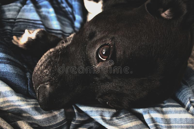 Cute Dog in Bed royalty free stock photo