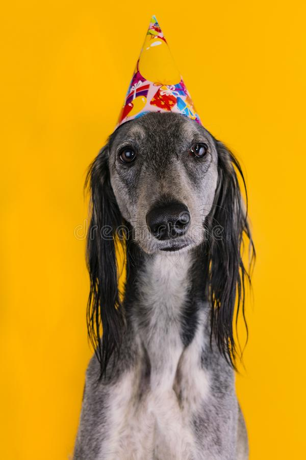 Cute dog with a birthday party hat on isolated on a yellow background. greyhound. hat with copyscpace. Cute greyhound with a birthday party hat on isolated on a royalty free stock photography