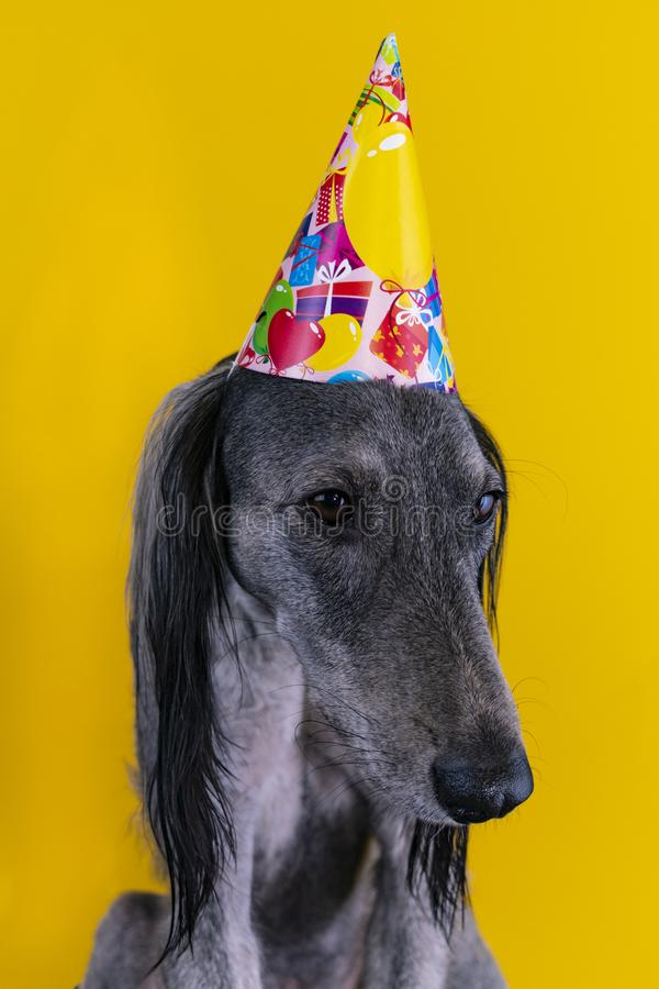 Cute dog with a birthday party hat on isolated on a yellow background. greyhound. hat with copyscpace. Cute greyhound with a birthday party hat on isolated on a royalty free stock photo