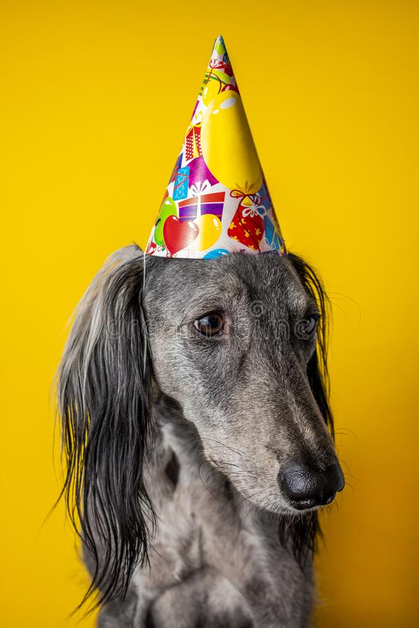 Cute dog with a birthday party hat on isolated on a yellow background. greyhound. hat with copyscpace. Cute greyhound with a birthday party hat on isolated on a royalty free stock images