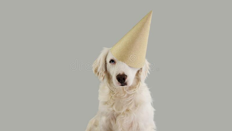 CUTE DOG WITH BLUE EYES CELEBRATING A BIRTHDAY, CARNIVAL, MARDI GRAS OR NEW YEAR PARTY WITH A GOLDEN GLITTER HAT. ISOLATED AGAINST. GRAY BACKGROUND royalty free stock photo