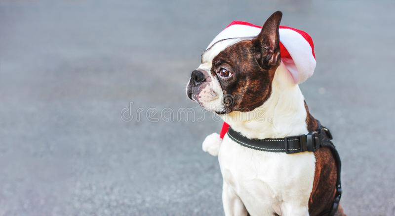 Cute dog boston terrier Santa hat sitting on grey background, baner royalty free stock images