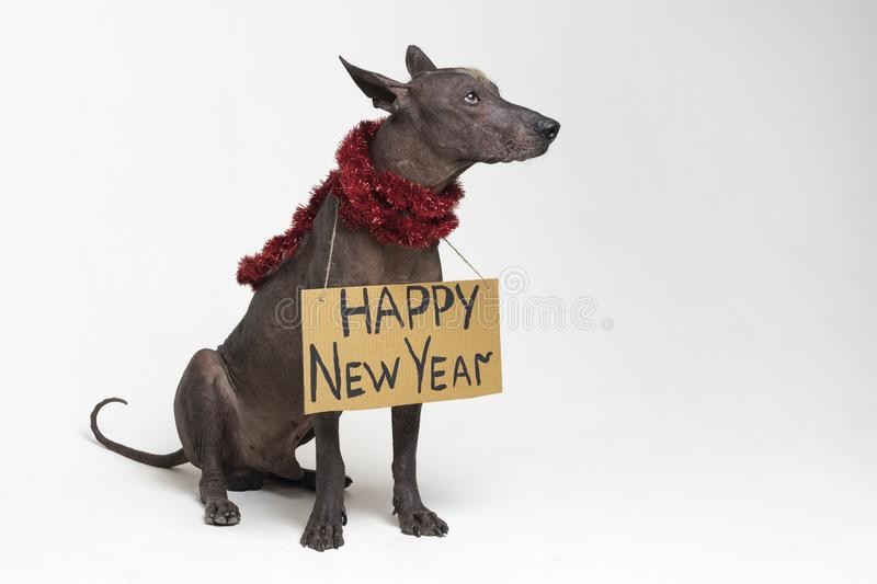 Cute dog breed, Mexican Hairless dog with Iroquois, in red Christmas tinsel garland with a cardboard sign of a `Happy New Year ` royalty free stock photography