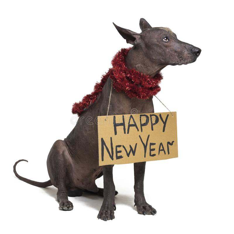 Cute dog breed, Mexican Hairless dog with Iroquois, in red Christmas tinsel garland with a cardboard sign of a `Happy New Year ` royalty free stock image