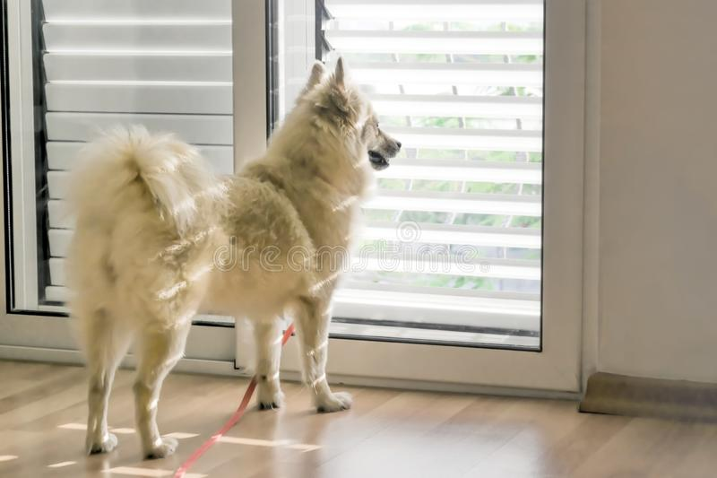 Cute dog breed Spitz standing next to the door inside the house and looking through the blinds royalty free stock image