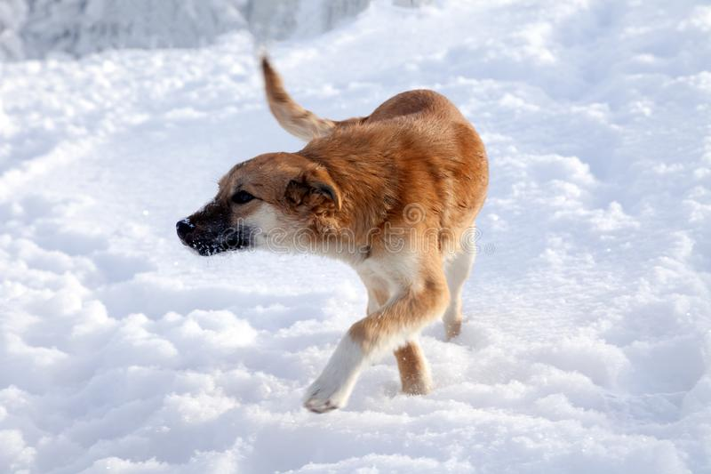 A cute dog with brown hair, a bite black face in the snow, is lo. Cute dog with brown hair, a bite black face in the snow, is looking for a treat. Lost pet royalty free stock photos