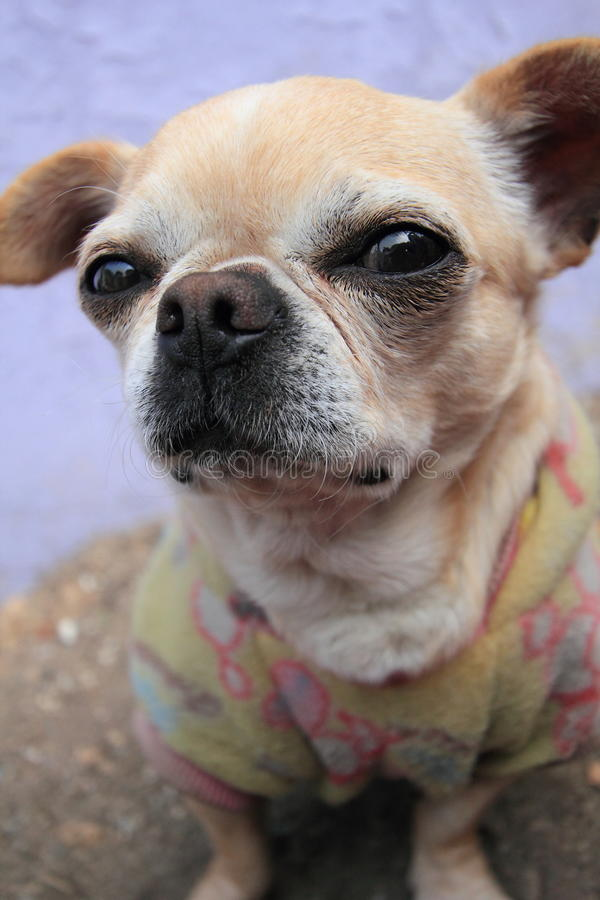 Dog, breed, like, mammal, nose, snout, chihuahua, group, puppy, carnivoran, companion, toy, fawn. Photo of dog, breed, like, mammal, nose, snout, chihuahua stock photos