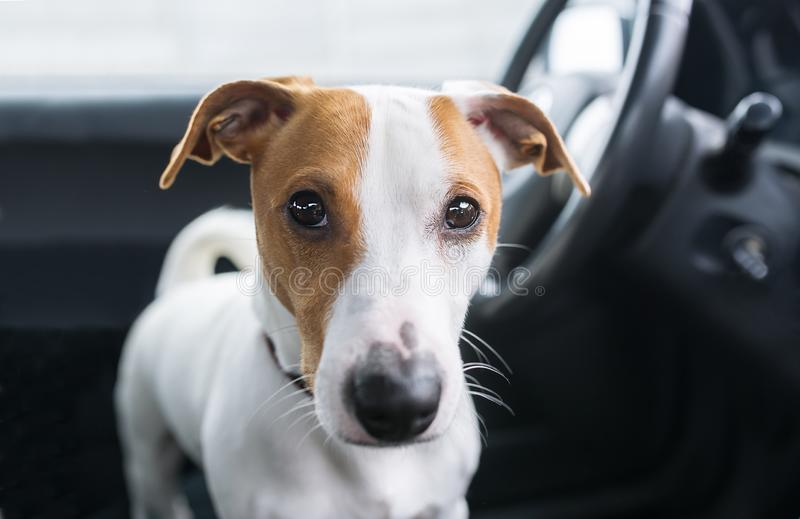 Cute dog in car ready to long travel. Closeup photo stock images