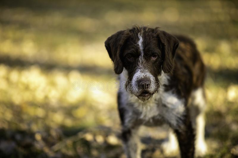 Cute dog caught by dog catchers who is housed in a cage at the public shelter built by the town hall for dogs on the street or. Dogs abandoned by dog owners stock photography