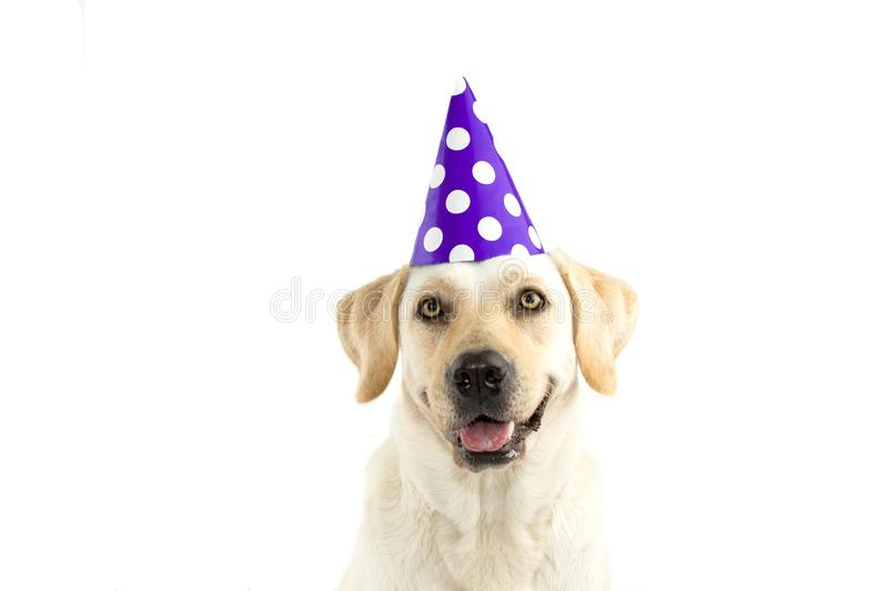 CUTE DOG CELEBRATING A BIRTHDAY PARTY, LOOKING AT CAMERA, WEARI. NG A PURPLE POLKA DOT HAT. ISOLATED AGAINST WHITE BACKGROUND. COPY SPACE stock photo