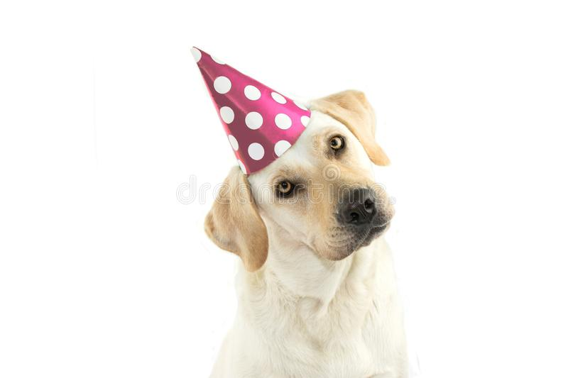 CUTE DOG CELEBRATING A BIRTHDAY PARTY, TINTING THE HEAD SIDE AND. LOOKING AT CAMERA, WEARING A PINK POLKA DOT HAT. ISOLATED AGAINST WHITE BACKGROUND WITH COPY royalty free stock photo