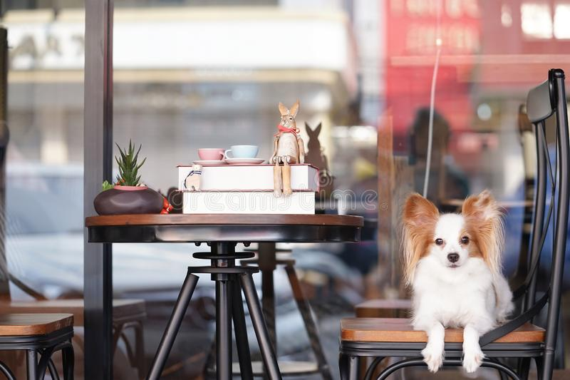 Cute dog on a chair. Pure breed dog : Continental Toy Spaniel Papillon on a vintage chair. Books and teacups on the table royalty free stock photo