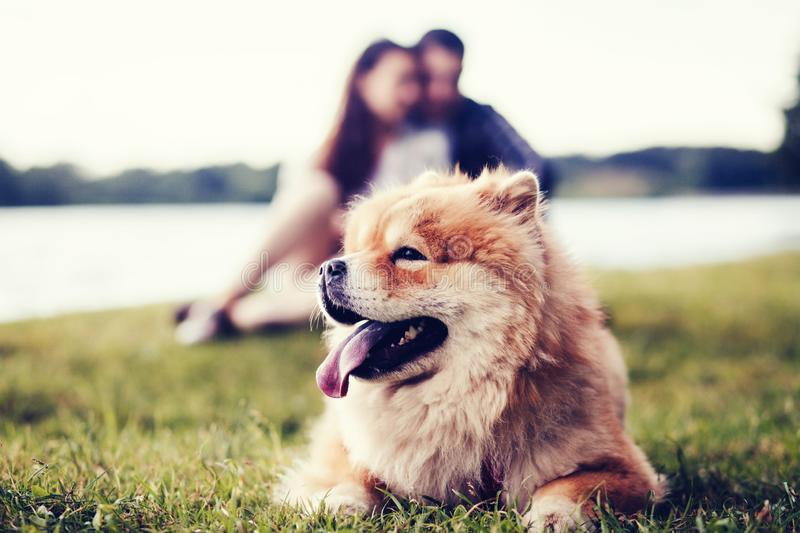 Cute dog chow chow stock images