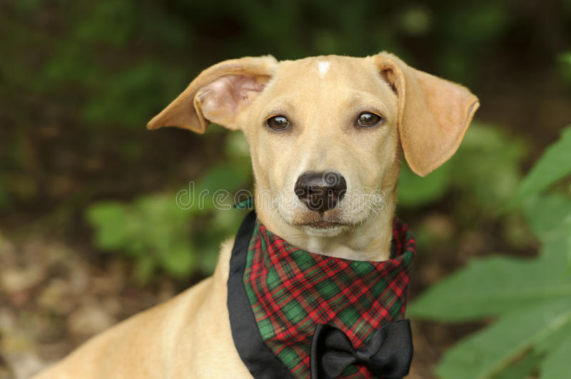 Download Puppies Bow Adorable Dog - cute-dog-costume-puppy-all-dressed-up-his-bow-tie-best-76587572  Gallery_74289  .jpg